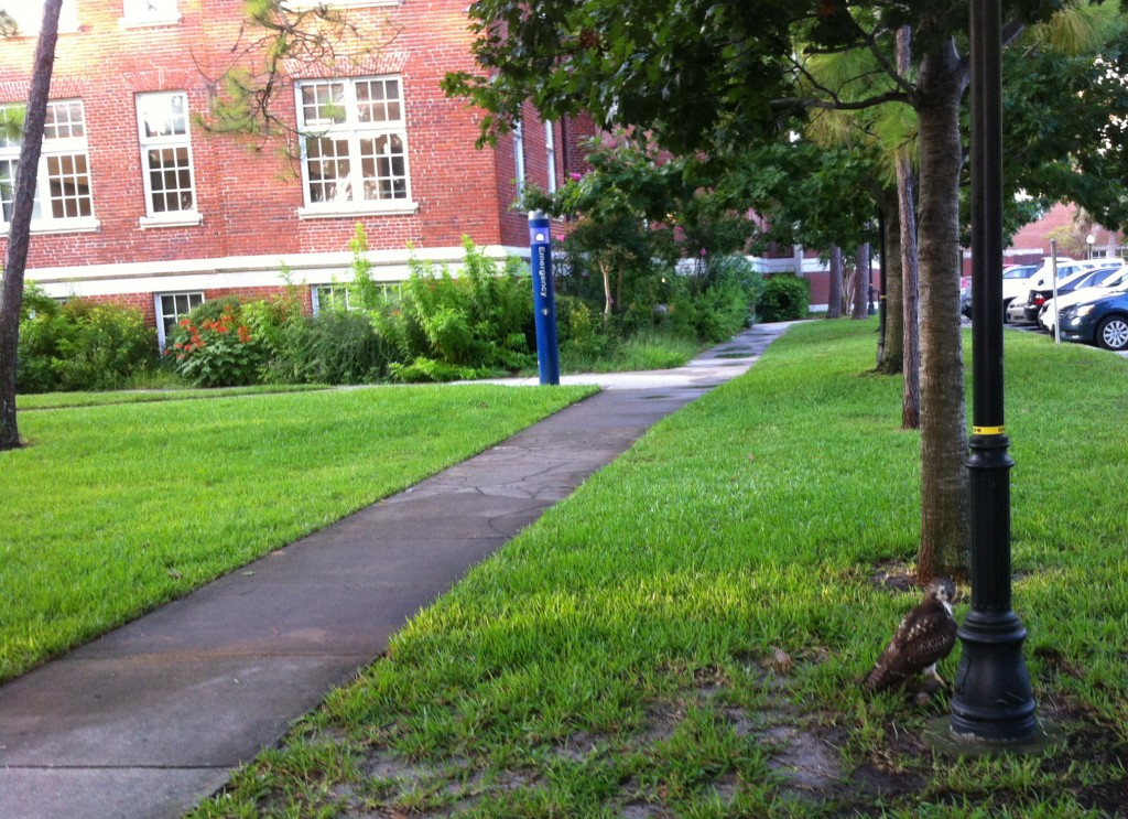 UF Hawk on Campus in the Morning on 7/29/2014